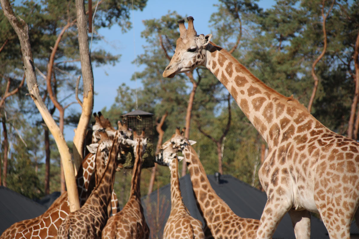 Giraf Safaripark Beekse Bergen